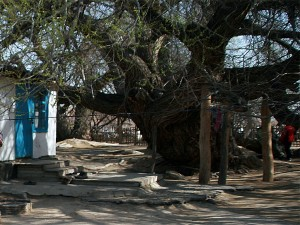 700-летняя ива